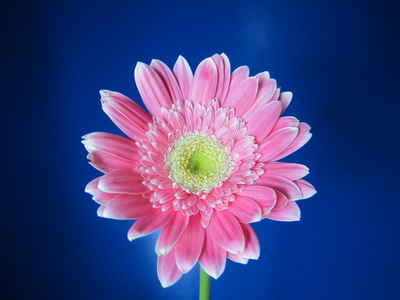 Fresh Cut Flowers-Gerbera Flower-05