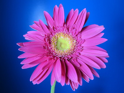 Fresh Cut Flowers-Gerbera Flower-10