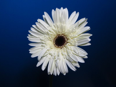 Fresh Cut Flowers-Gerbera Flower-09
