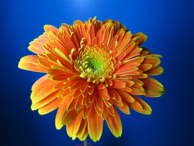 Fresh Cut Flowers-Gerbera Flower-07