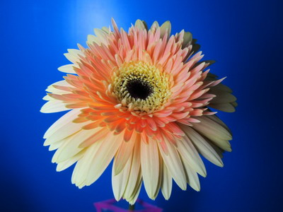 Fresh Cut Flowers-Gerbera Flower-03