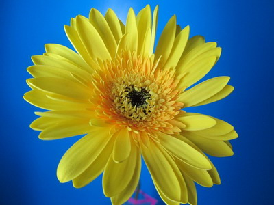 Fresh Cut Flowers-Gerbera Flower-02