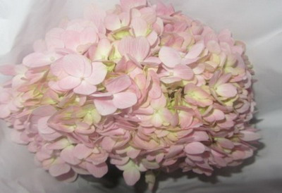 Fresh Cut Flowers Hydrangeas-05