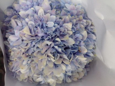 Fresh Cut Flowers Hydrangeas-08