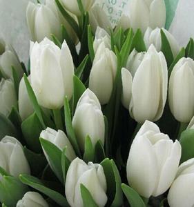 Fresh Cut Flower-Tulip-03