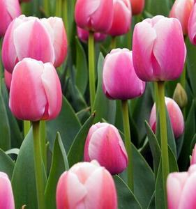 Fresh Cut Flower-Tulip-10
