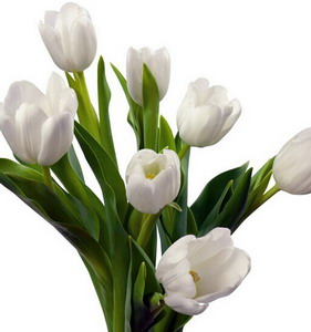 Fresh Cut Flower-Tulip-07