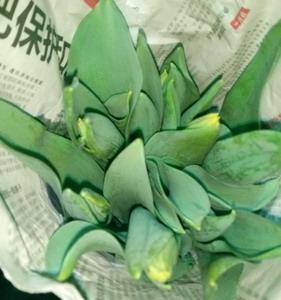 Fresh Cut Flower-Tulip-13