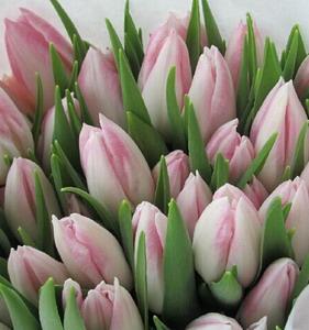 Fresh Cut Flower-Tulip-01