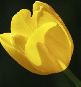 Fresh Cut Flower-Tulip-11