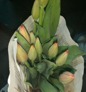 Fresh Cut Flower-Tulip-14