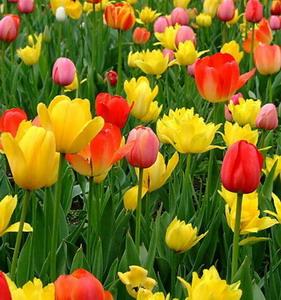 Fresh Cut Flower-Tulip-06