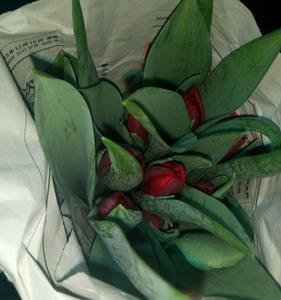 Fresh Cut Flower-Tulip-12