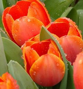 Fresh Cut Flower-Tulip-08