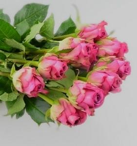 Fresh Cut Flower Rose -Cool Beauty