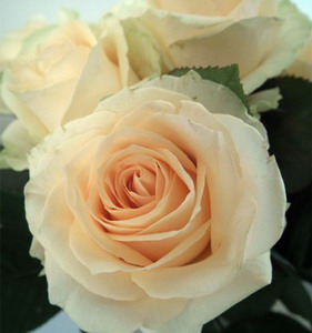 Fresh Cut Flower Rose -Peach Avalanche