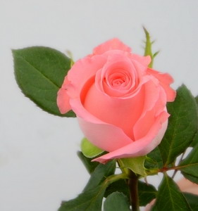Fresh Cut Flower Rose -Diana (2)