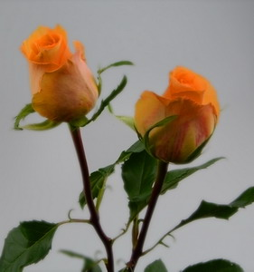 Fresh Cut Flower Rose -Queen's Day
