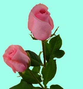 Fresh Cut Flower Rose -Nirvana
