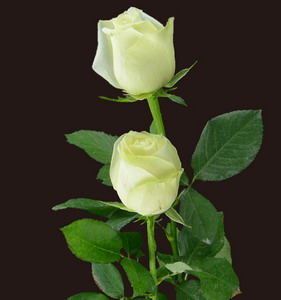 Fresh Cut Flower Rose -Vendela