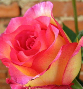 Fresh Cut Flower Rose -Double Pink