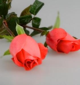 Fresh Cut Flower Rose -Movie Star Rose