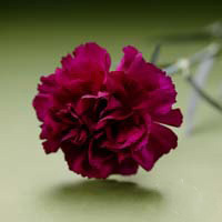 Fresh Cut Carnation Flowers-Purple Pacal