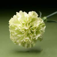 Fresh Cut Carnation Flowers-Prado Mint