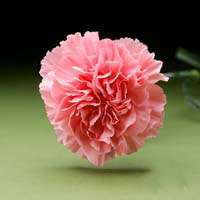 Fresh Cut Carnation Flowers-Pink Nelson