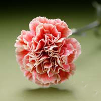 Fresh Cut Carnation Flowers-Primero Mango