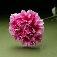 Fresh Cut Carnation Flowers-Lopazo