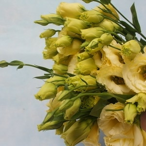 Fresh Cut Flower-Eustoma Flower-06