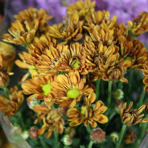 Daisy Chrysanthemum-03