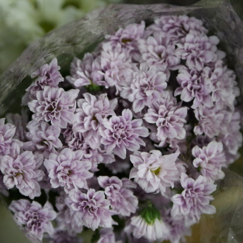 Daisy Chrysanthemum-04