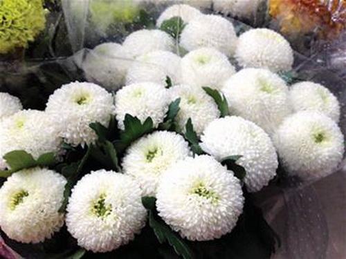 PingPong Chrysanthemum-06