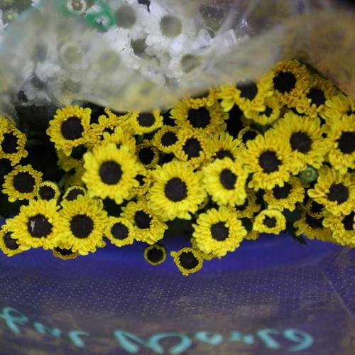 Daisy Chrysanthemum-08