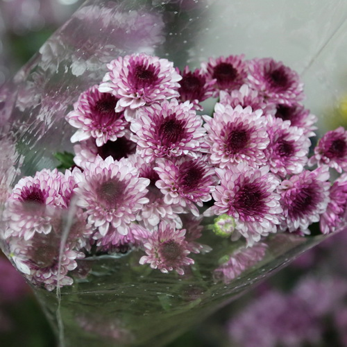 Daisy Chrysanthemum-14