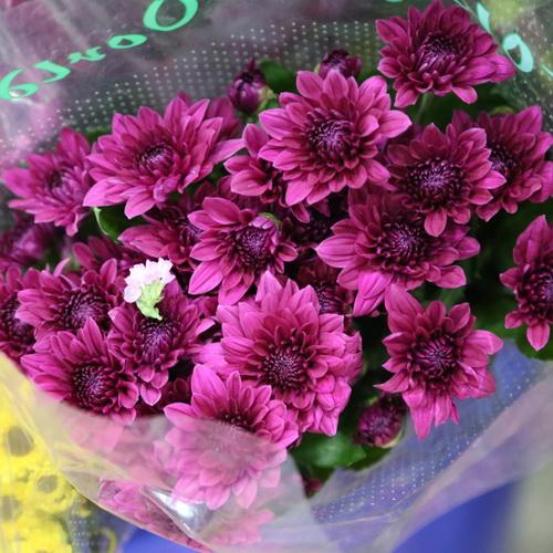 Daisy Chrysanthemum-07