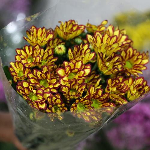 Daisy Chrysanthemum-15