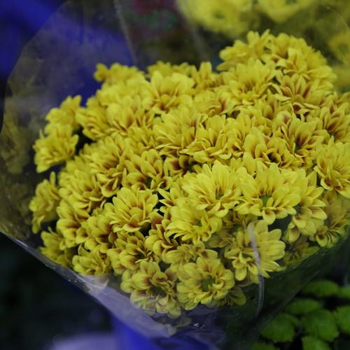 Daisy Chrysanthemum-10