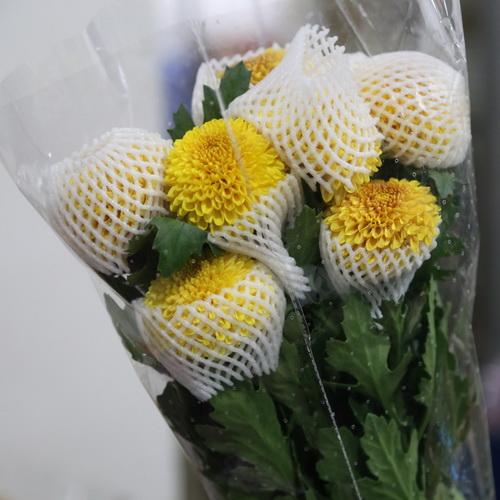 PingPong Chrysanthemum-05