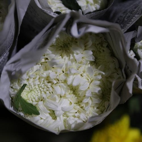 Sing Head Chrysanthemum-01
